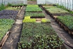 Рассада разных видов капусты