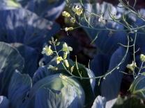 Цветет брокколи, будут свои семена