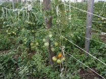 Наши помидоры