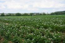 Картофельные био-поля.