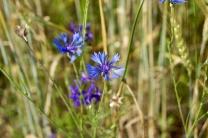 Васильки - полезные растения.  Этот кусочек неба на земле обладает лечебными свойствами!