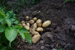 Картофель ранний сорт Удача
